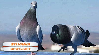 Pigeons spotlight