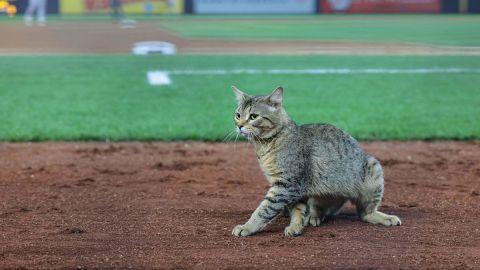 New York Yankees Cat